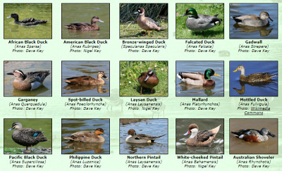 Photos of World Ducks