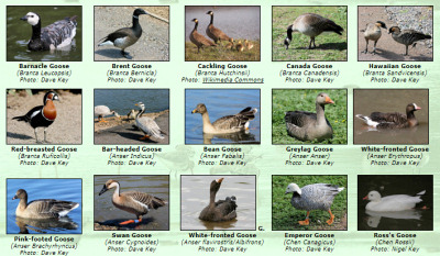 Photos of World Geese