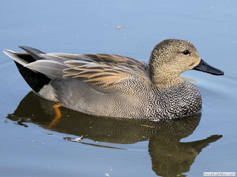 Identify Gadwall - Duck - Wildfowl Photography.